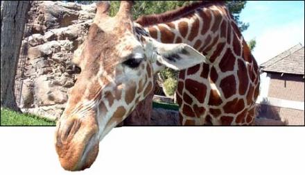 http://lnx.gregoryrossi.it/gry-blog/upload/giraffe-peek.jpg
